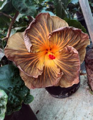 hibiscus-Aray-catalogo
