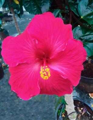 hibiscus badenol catalogo