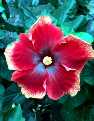 hibiscus-besay-catalogo