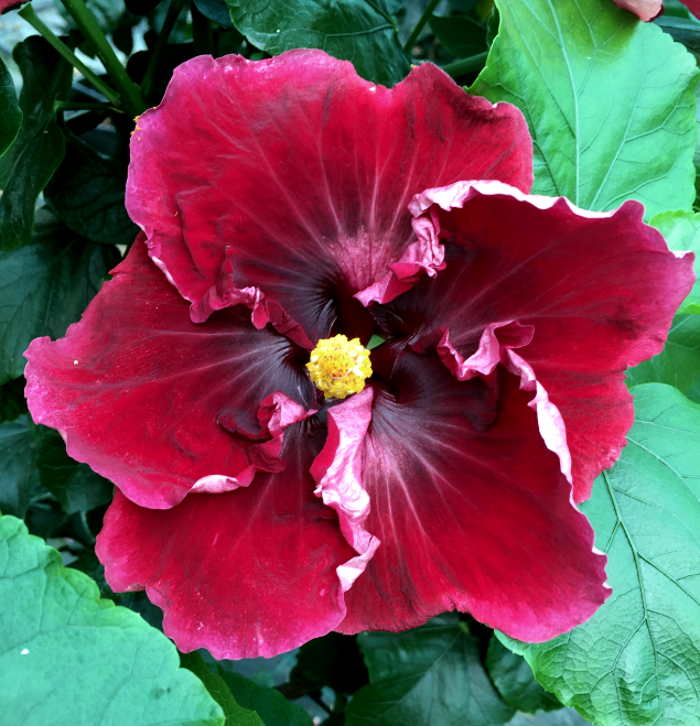 hibiscus-dacil-flor