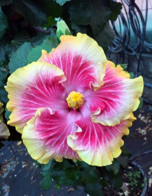 hibiscus-doramas-catalogo