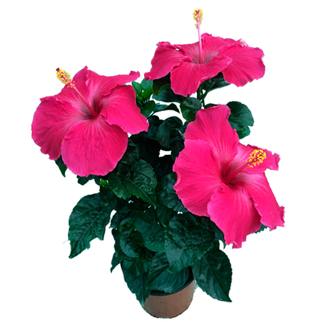 Hibiscus delValle Hybrid® - Badenol