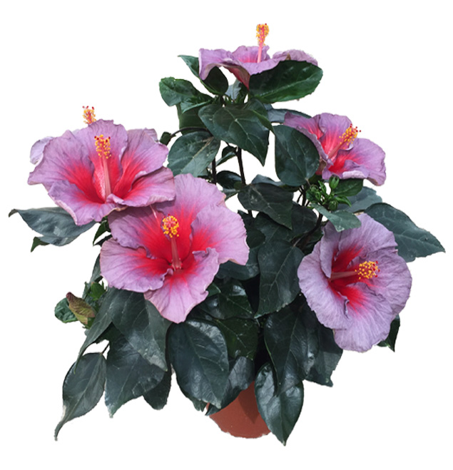 Hibiscus delValle Hybrid® - Delioma