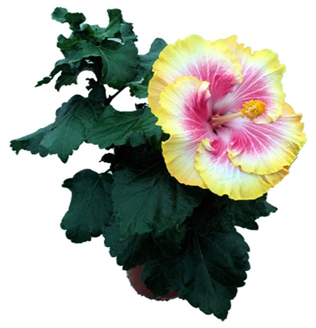 Hibiscus delValle Hybrid® - Doramas