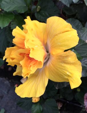 hibiscus acerina catalogo