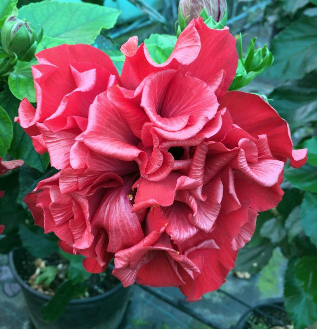 hibiscus-acomar-flor