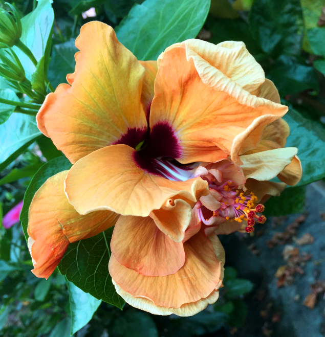 hibiscus-aday-flor