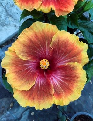hibiscus-Afur-catalogo