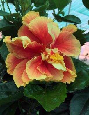 hibiscus agora catalogo