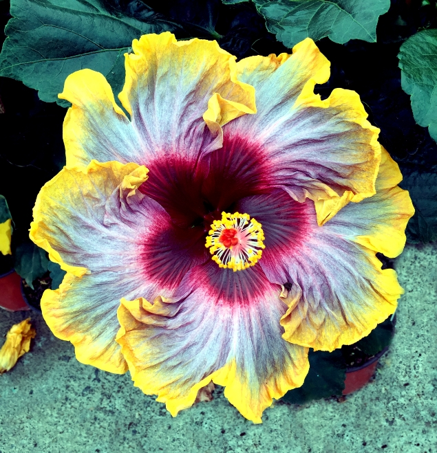 hibiscus-Ancor-flor