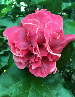 hibiscus-aregoma-catalogo
