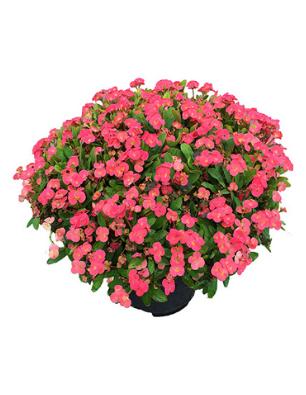 Euphorbia-rifia-catalogo