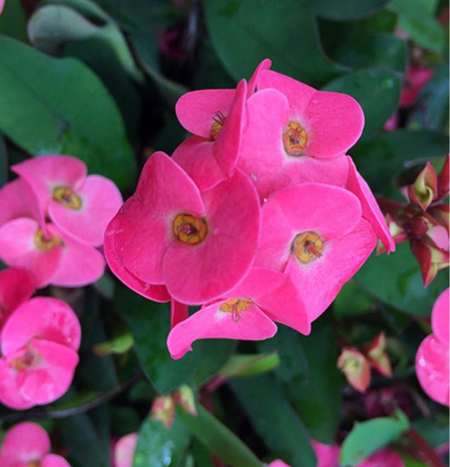 Euphorbia-rosi-flor