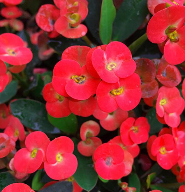 Euphorbia-grenchi-flor