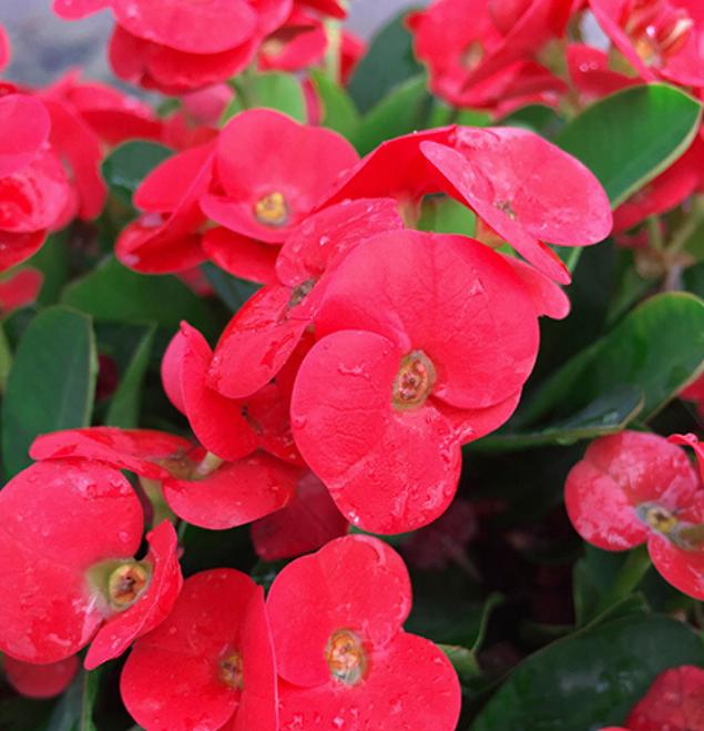 Euphorbia-ladia-flor