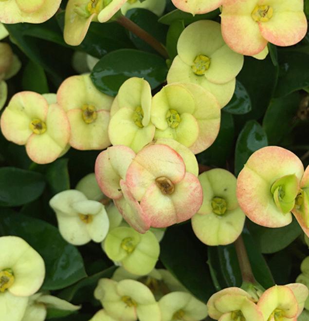 Euphorbia-albina-flor