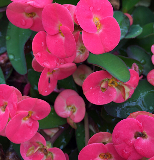 Euphorbia-virgnia-flor