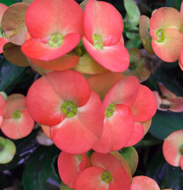 Euphorbia-orania-flor