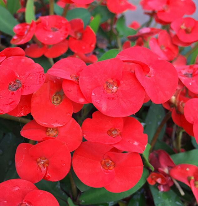 Euphorbia-beautyfull-flor