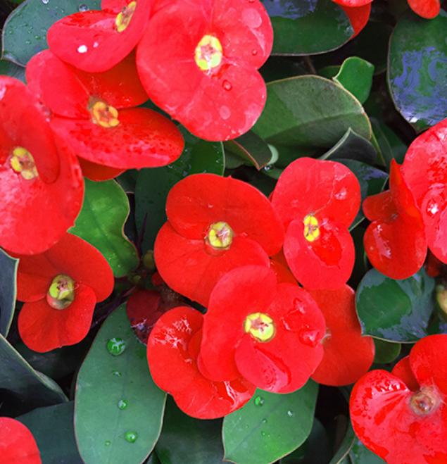 Euphorbia-coral-flor