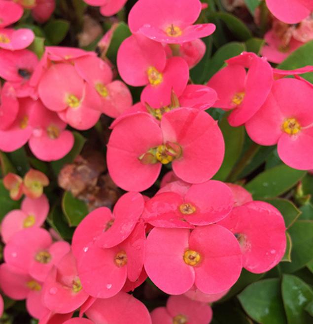 Euphorbia-rifia-flor