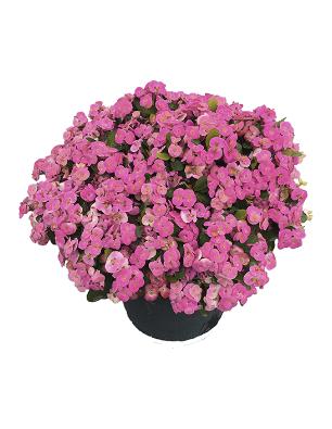 Euphorbia-rosi-catalogo