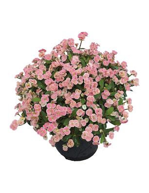 Euphorbia clara catalogo