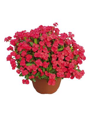 Euphorbia-beautyfull-catalogo