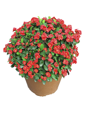 Euphorbia-coral-catalogo