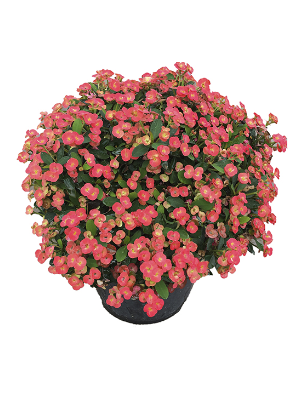 Euphorbia-prima-catalogo