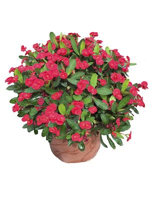Euphorbia-grenchi-catalogo