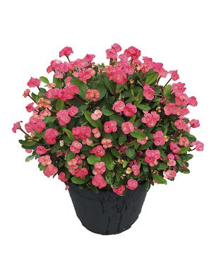 Euphorbia-acerina-catalogo