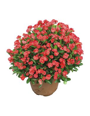 Euphorbia ladia catalogo