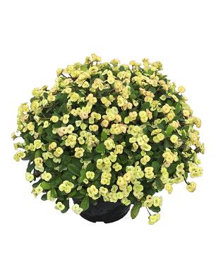 Euphorbia albina catalogo