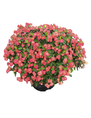 Euphorbia virginia catalogo