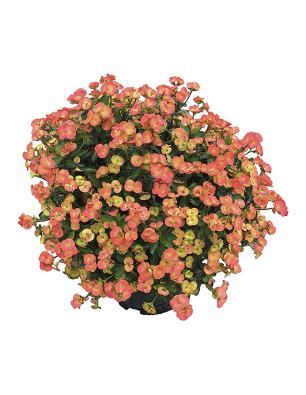 Euphorbia-orania-catalogo
