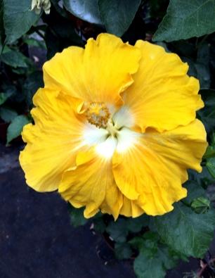 hibiscus-gara-catalogo