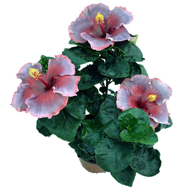 Hibiscus delValle Hybrid® - Abian