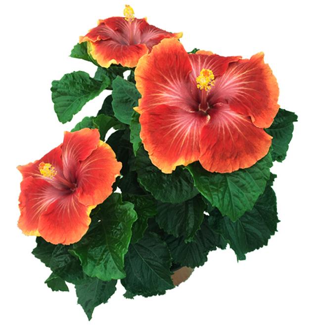 Hibiscus delValle Hybrid® - Afur