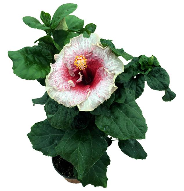Hibiscus delValle Hybrid® - Agoney