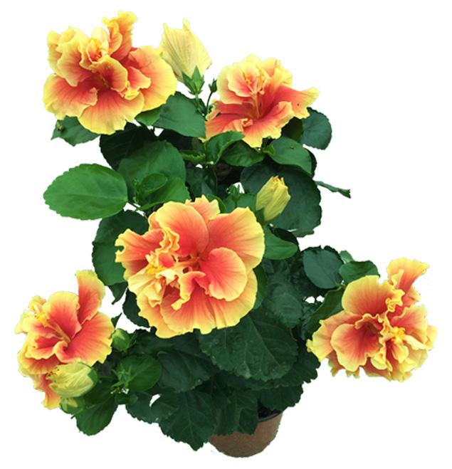 Hibiscus delValle Hybrid® - Agora
