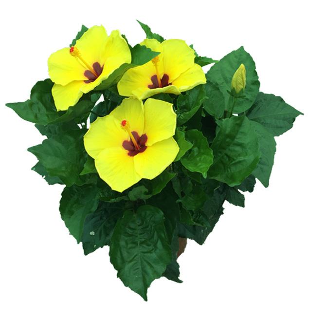 Hibiscus delValle Hybrid® - Nira