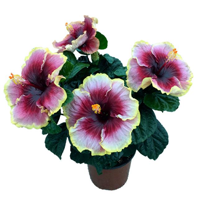 Hibiscus delValle Hybrid® - Tegueste