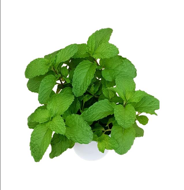 aromáticas-hierbabuena