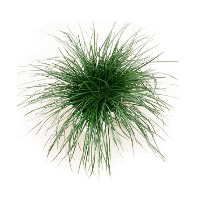 aromáticas-hierba de gato