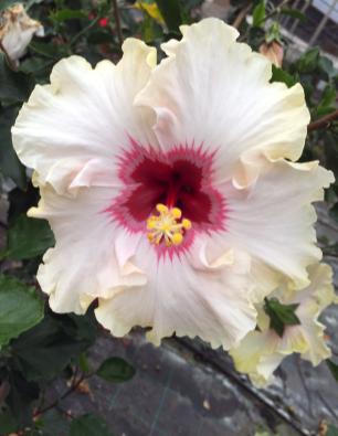 hibiscus-kella-catalogo