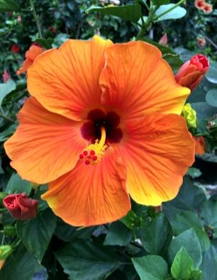 hibiscus-moneyba-catalogo