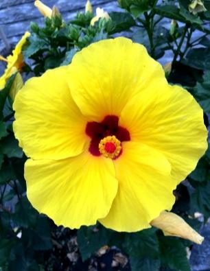 hibiscus-nira-catalogo