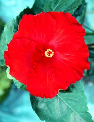 hibiscus-rinima-catalogo