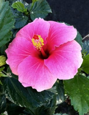hibiscus-rosalva-catalogo
